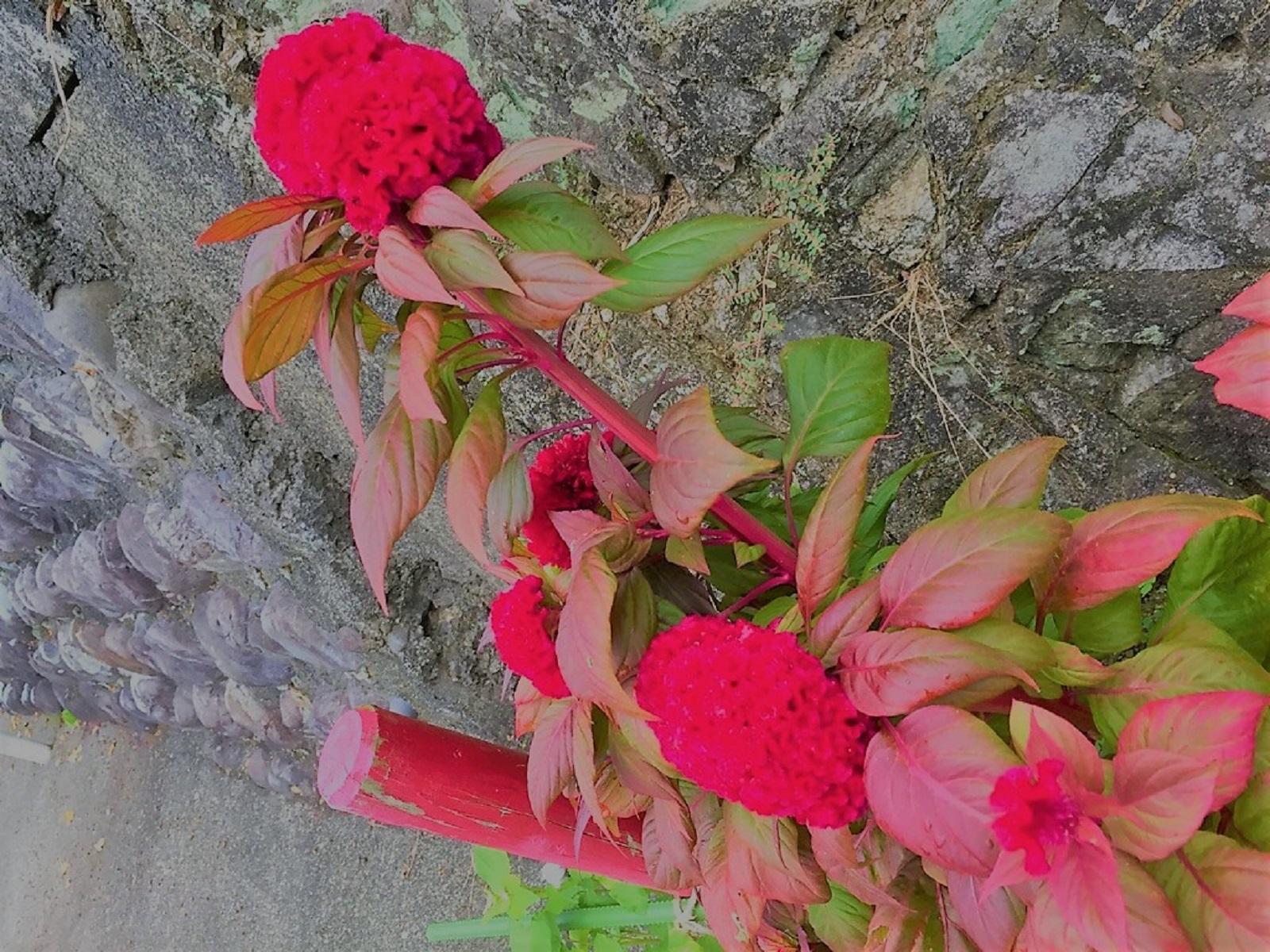 鶏頭のお花
